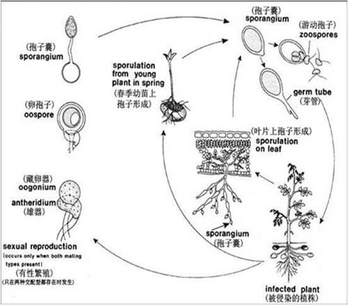 图片1、晚疫病传播图