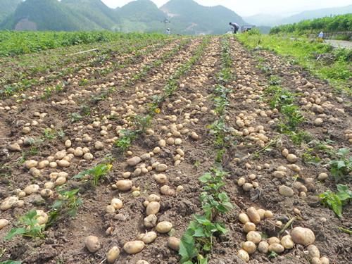 图片6、马铃薯丰收