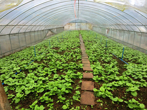 图片2、叶类蔬菜微喷灌模式