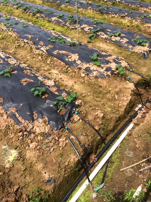 图片3、草莓膜下滴灌模式