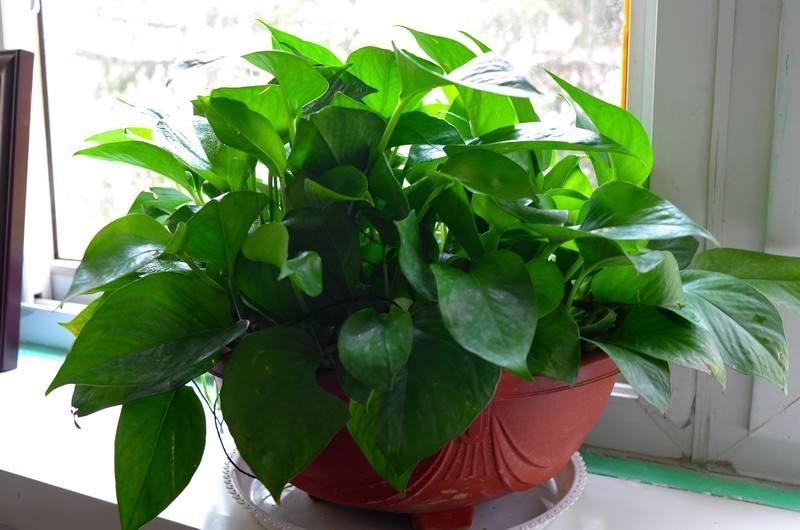 植物甲醛吸附