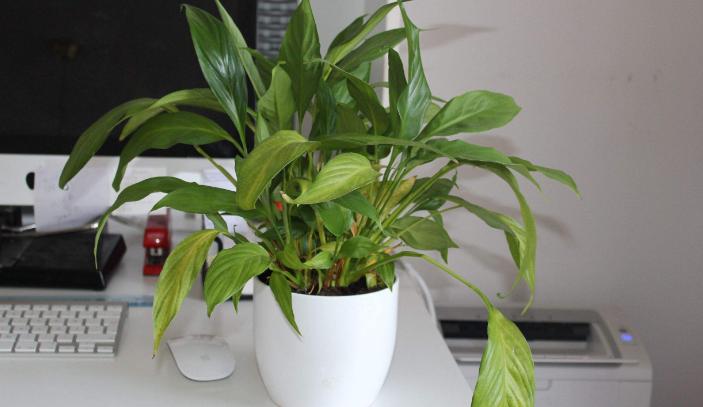 植物吸附甲醛气体