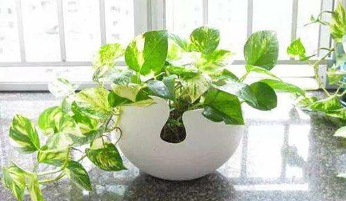 植物吸咐甲醛