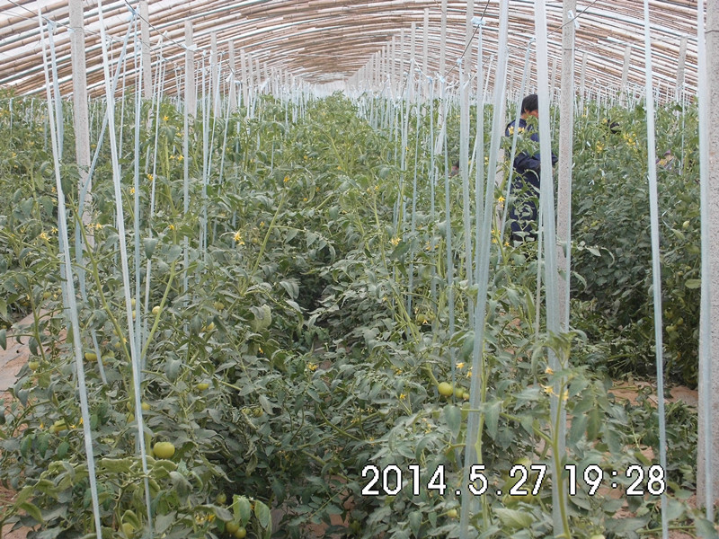 西红柿大棚1.jpg