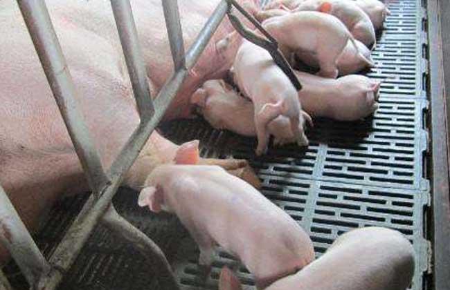 养100头猪能赚多少钱