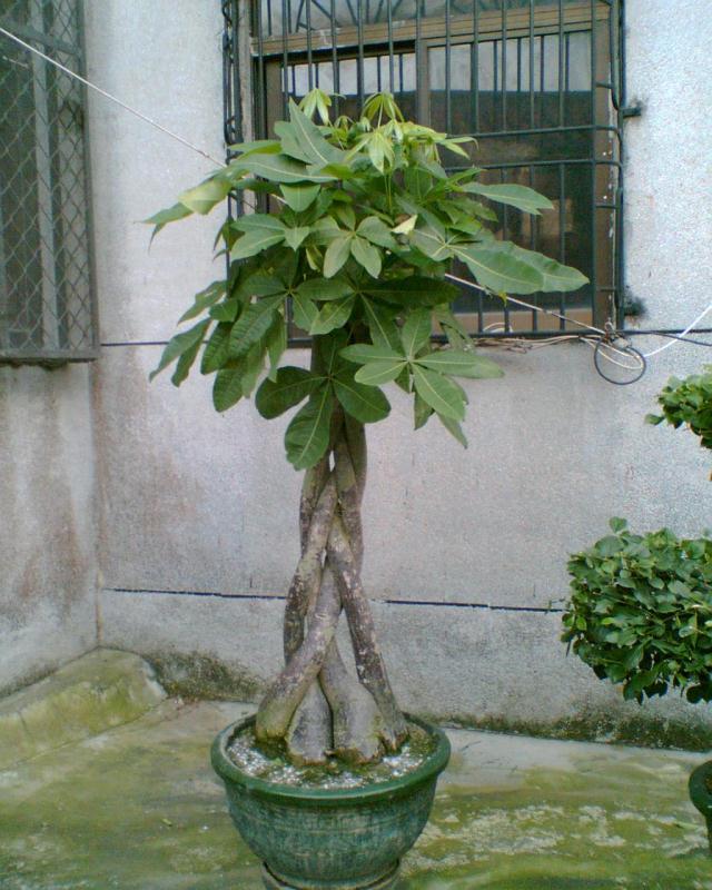 五辩发财树.jpg
