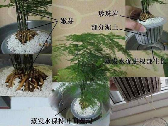 文竹蒸发水促根法