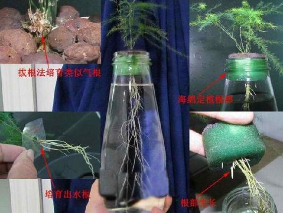 文竹气根+海绵定植法