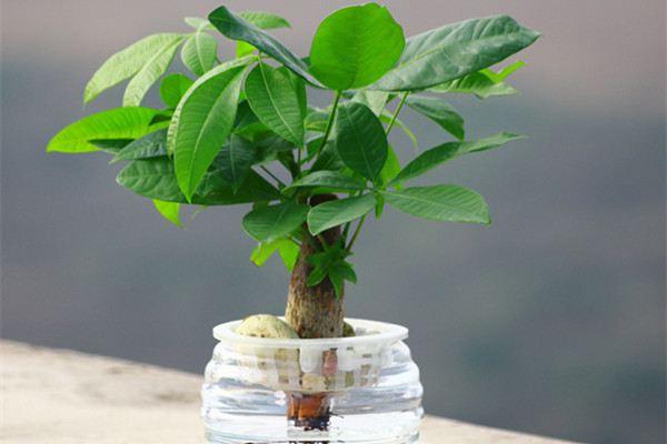 水培发财树怎么防止烂根