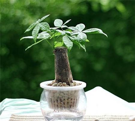 水培发财树需要合适的光照和温度
