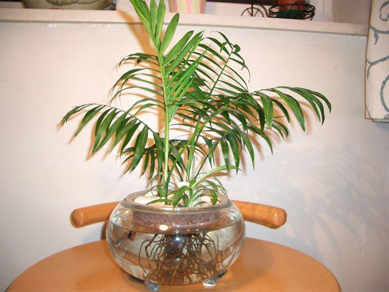 袖珍椰子摆放位置