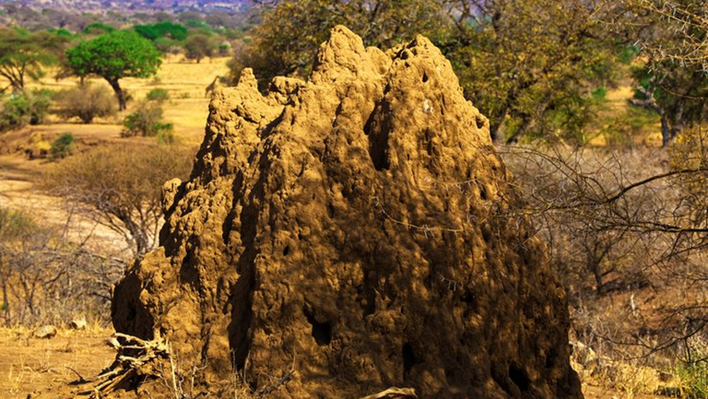 白蚁是如何构筑地下王国的?的头图