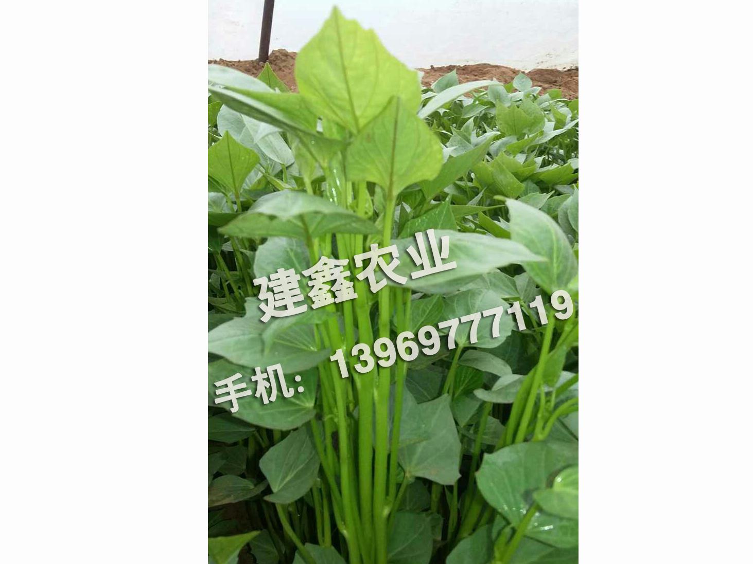 购买红薯苗就选建鑫农业-红薯种品种
