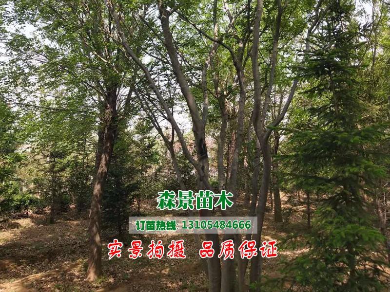 丛生朴树1.jpg