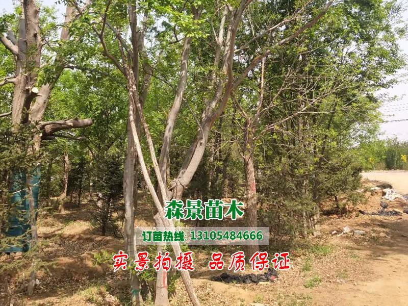 丛生朴树3.jpg