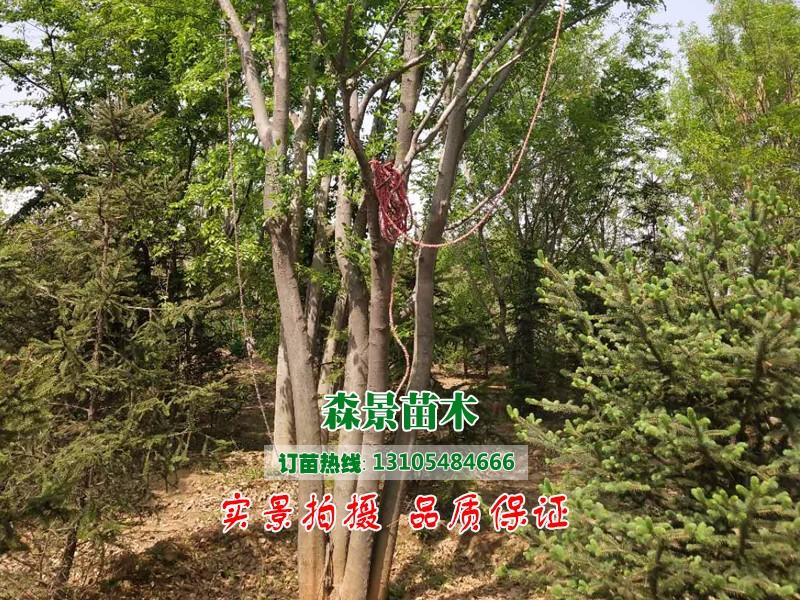 丛生朴树4.jpg