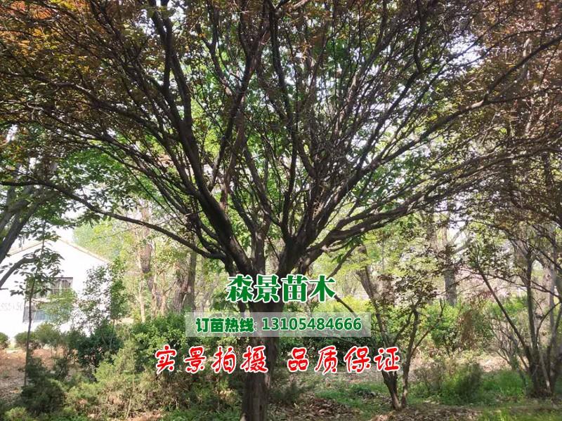 紫叶李5.jpg