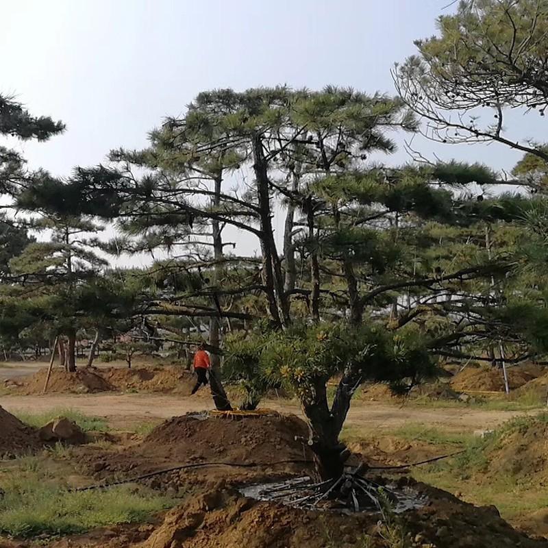 造型黑松种植