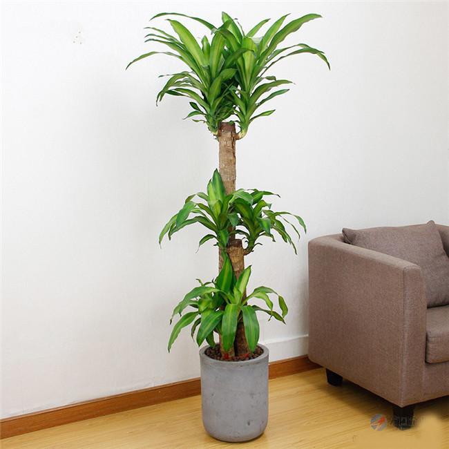 重庆绿植出租大型植物