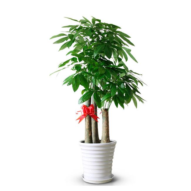 重庆大型绿植租摆发财树