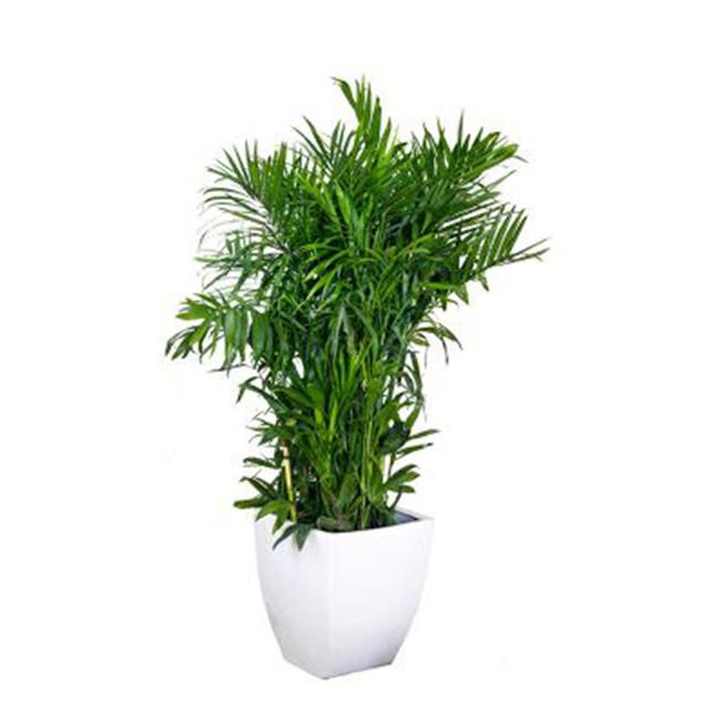 重庆大型植物租赁夏威夷椰子