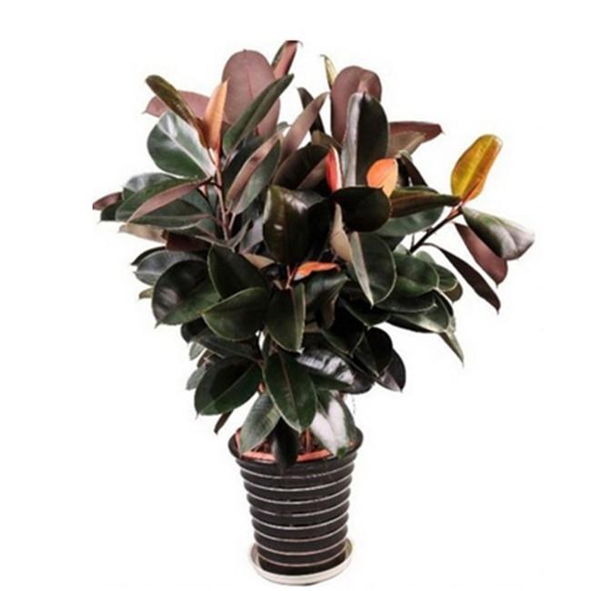 重庆大型植物出租橡皮树