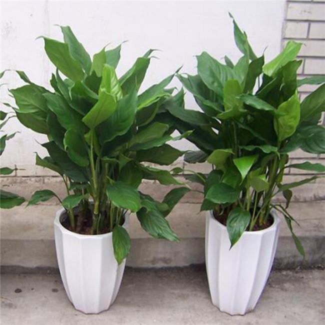 重庆绿植租摆中型植物