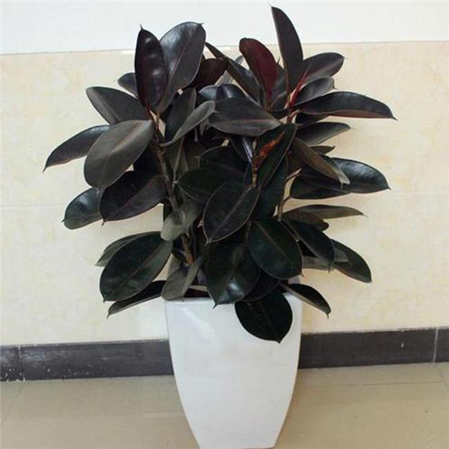 重庆植物出租中型植物