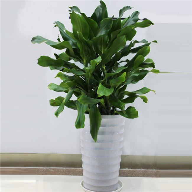 重庆绿植租赁桌面植物螺纹铁