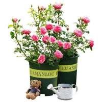 重庆植物租赁—蔷薇
