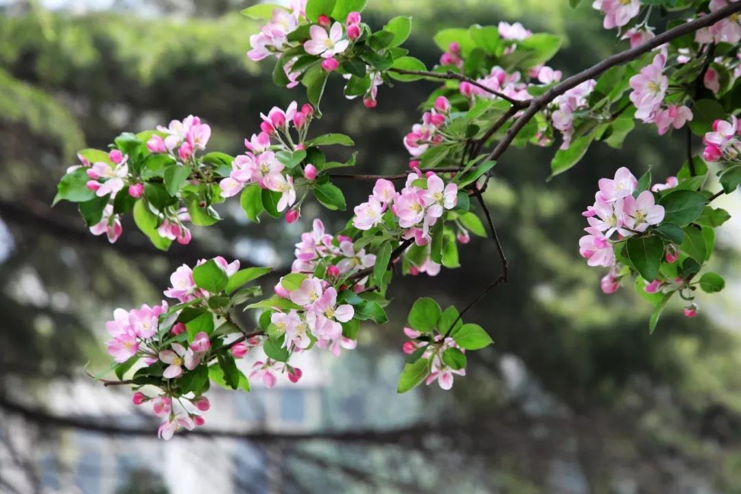 【海棠花海一日游】赏味海棠树秋天的样子