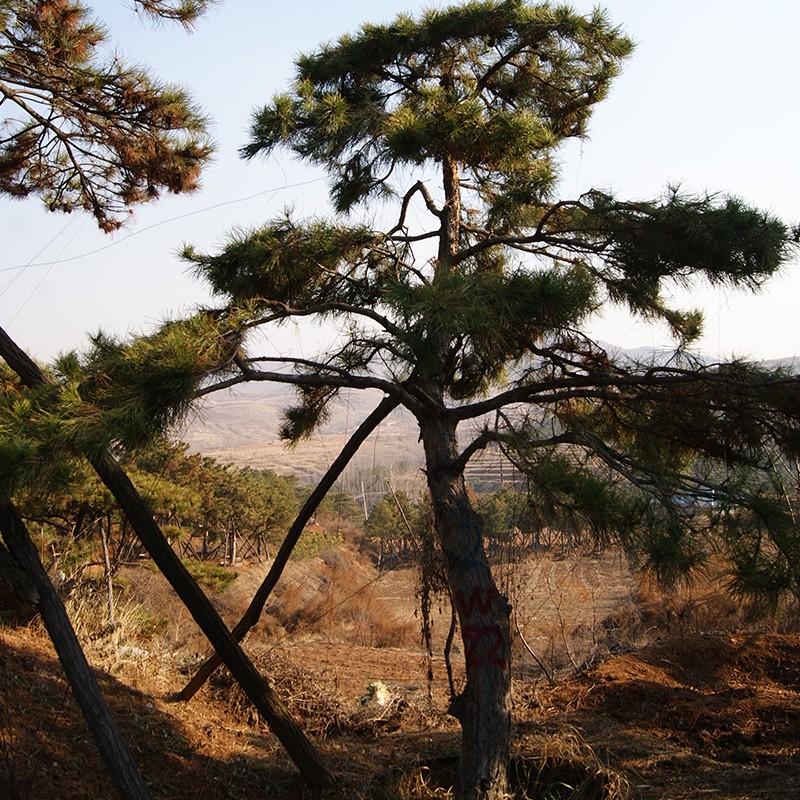 山东造型油松