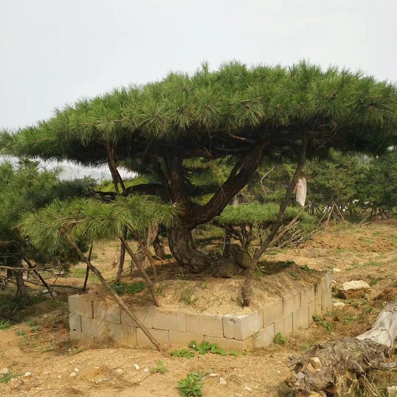 造型油松基地
