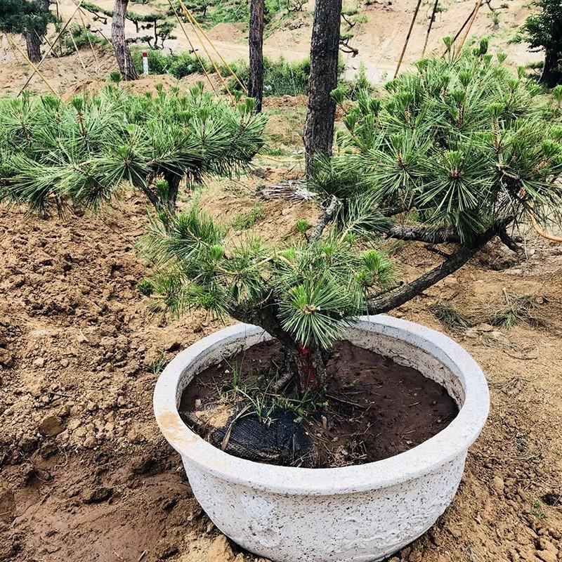 松樹盆景價格