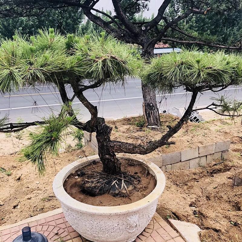 松樹盆景銷售