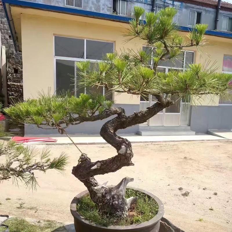 萊蕪柏樹盆景