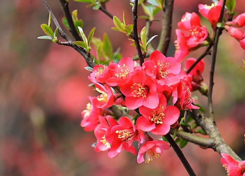 海棠花.jpg