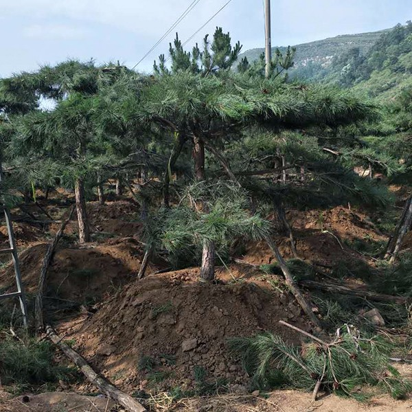 景观松基地.jpg
