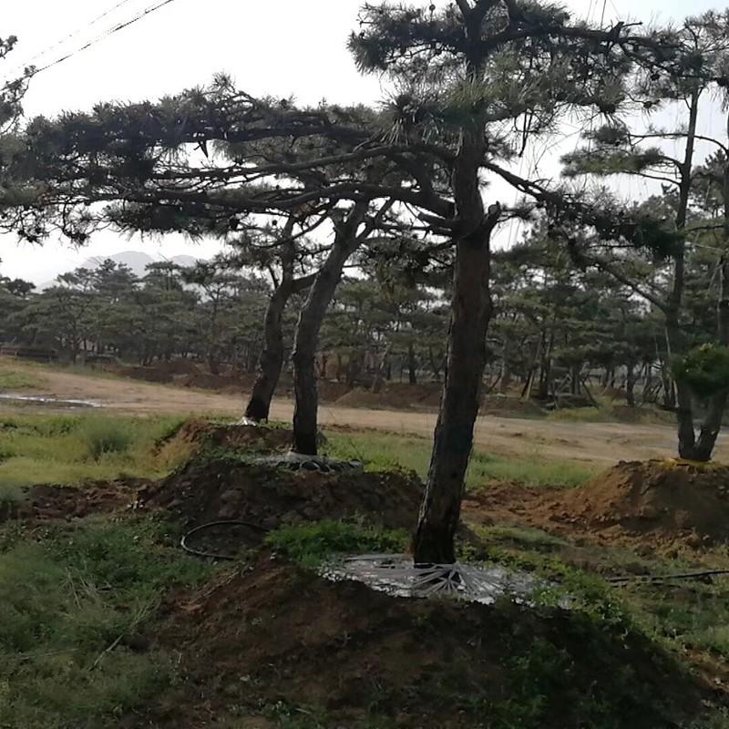 造型黑松基地