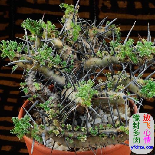 刺月界多肉-�脚6�苗科-龙骨葵属