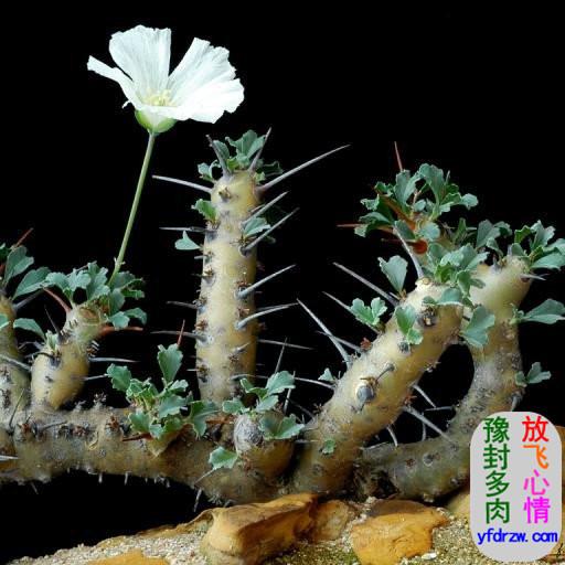 龙骨葵多肉-�脚6�苗科-龙骨葵属