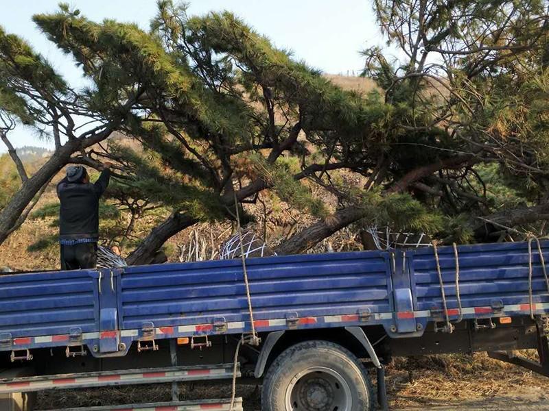 造型松树发货现场