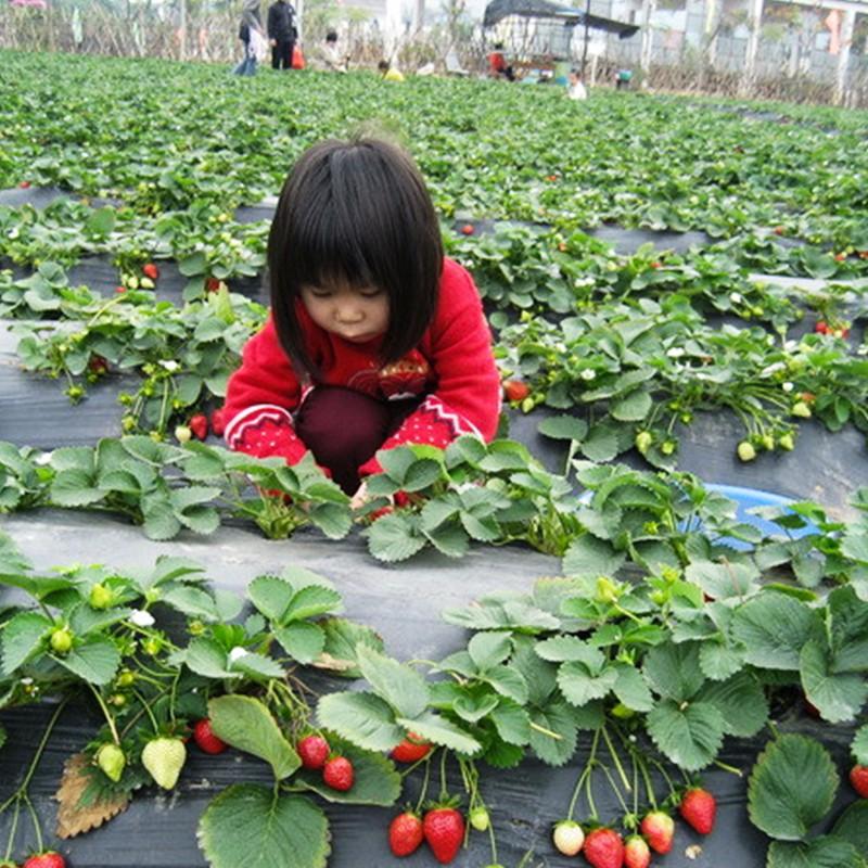 苏州农家乐采摘草莓