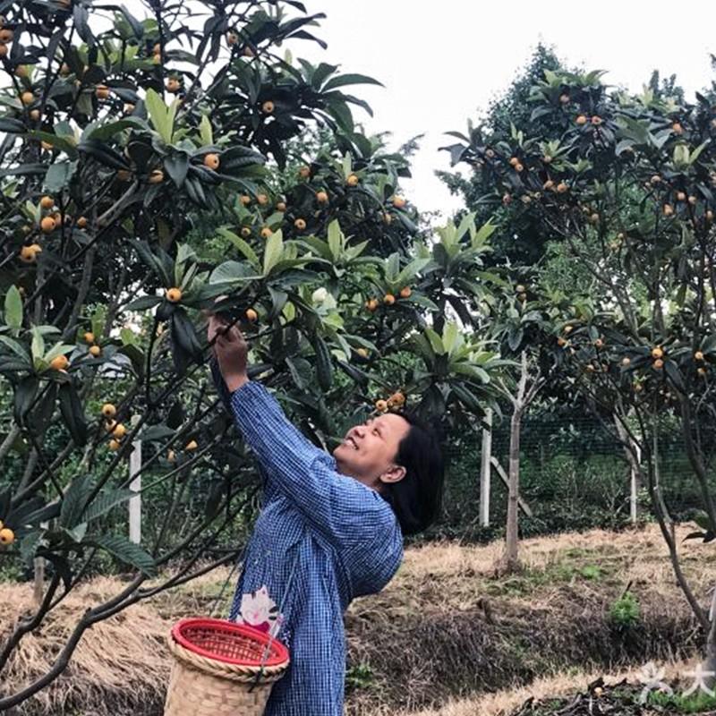 苏州农家乐采摘枇杷