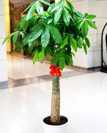 单杆发财树(1.6米).png