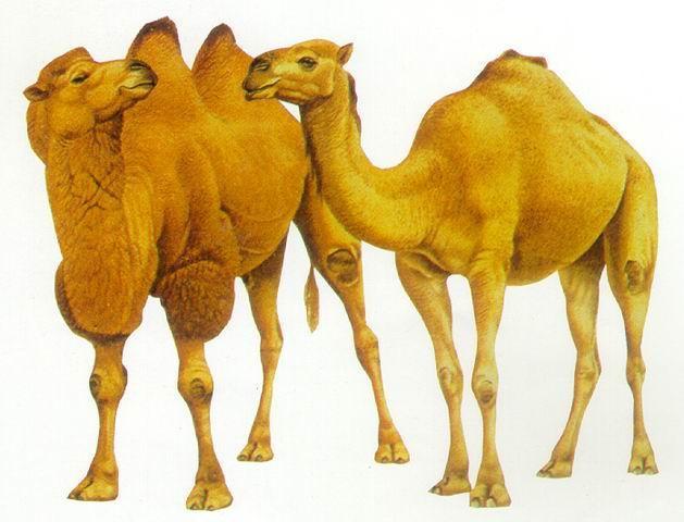 駱駝奶粉_800x800.jpg